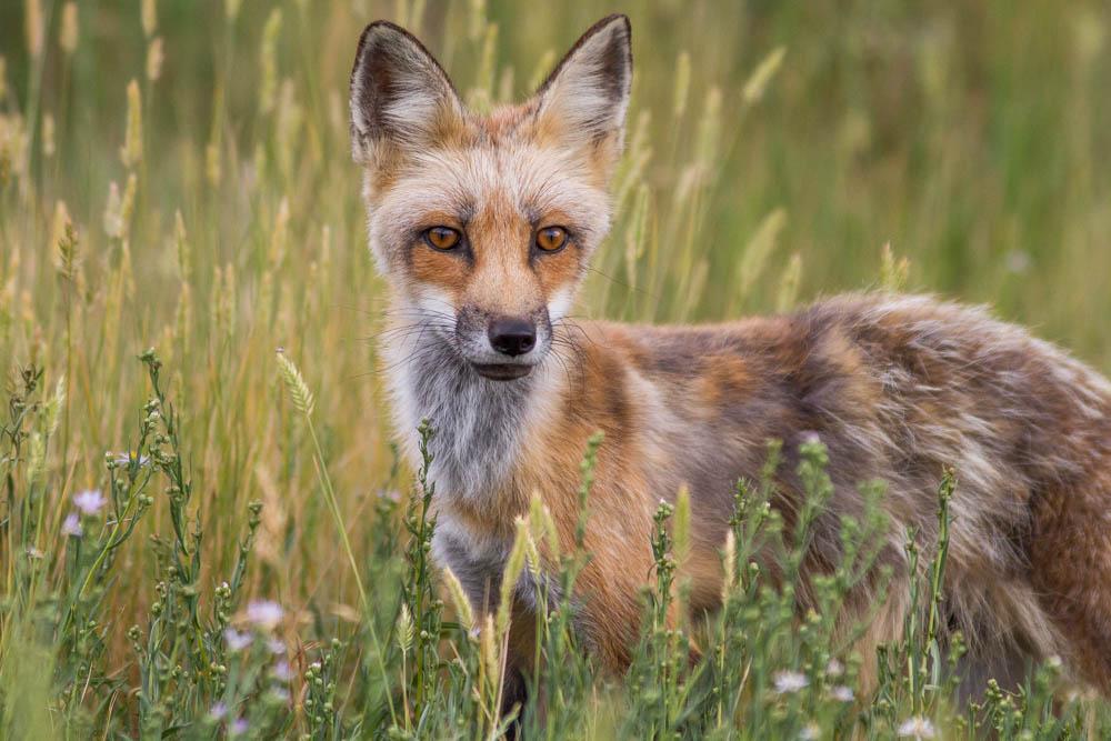 Fox standing in tall grass